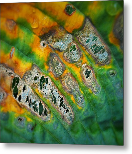 Beauty In Decay Metal Print by Paul Causie