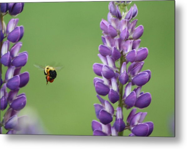 Bee On Lupine 2 Metal Print