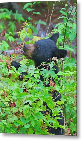 Berry Eating Bear Metal Print