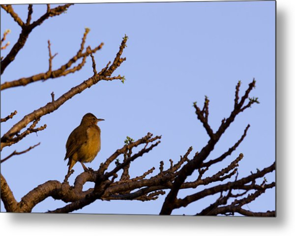 Bird In Dry Tree Metal Print by Joab Souza