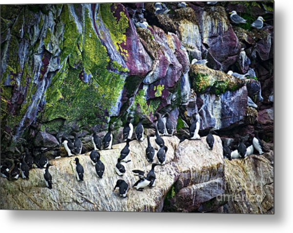 Birds At Cape St. Mary's Bird Sanctuary In Newfoundland Metal Print