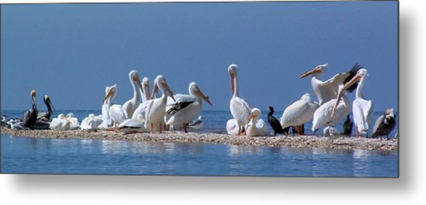Birds Pelicans Of Cedar Key Metal Print