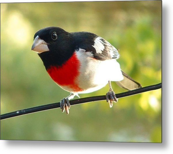 Birds Rose Breasted Grosbeak Metal Print