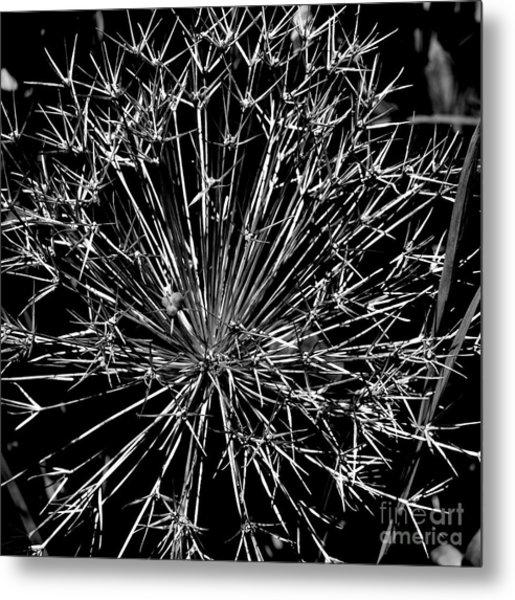Black And White Allium  2 Metal Print by Tanya  Searcy
