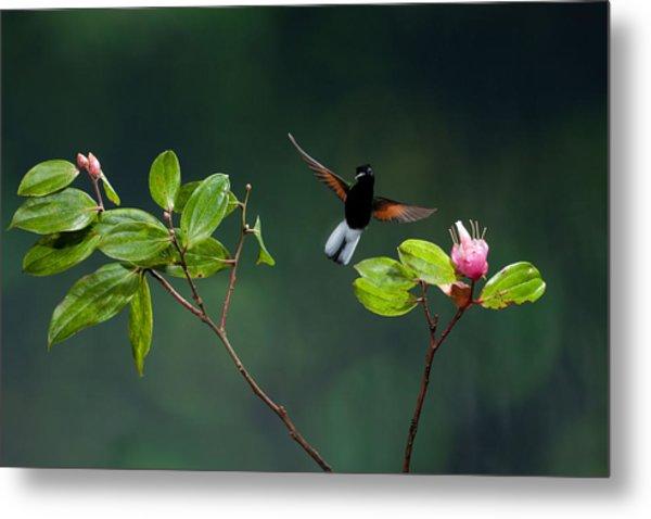 Black Bellied Hummingbird Metal Print