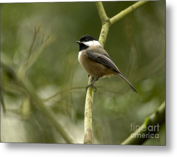 Black-capped Chickadee With Branch Bokeh Metal Print