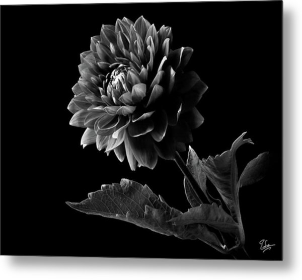 Black Dahlia In Black And White Metal Print
