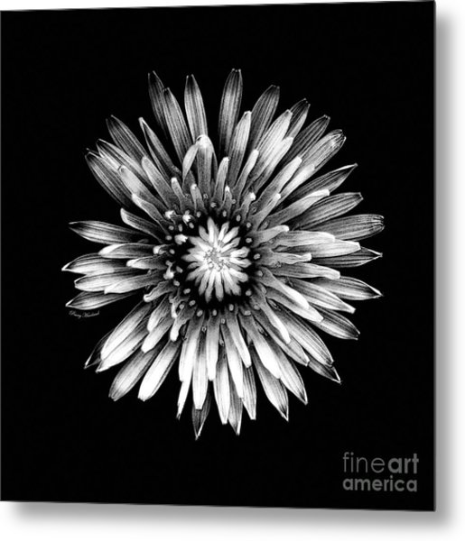 Black Dandy Metal Print by Penny Haviland