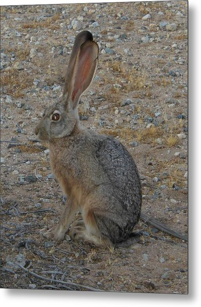 Black Eared Jack Rabbit Metal Print
