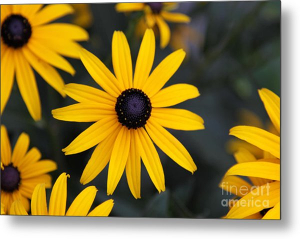 Black-eyed Susan Metal Print by Chris Hill