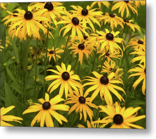 Black-eyed Susans Metal Print by Stanley French