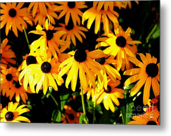 Black Eyed Susans Metal Print by Theresa Willingham