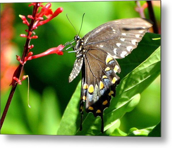 Black Swallow Tail Butterfly Metal Print