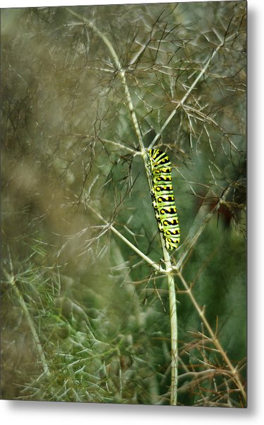 Black Swallowtail Butterfly Larva In Bronze Fennel Metal Print