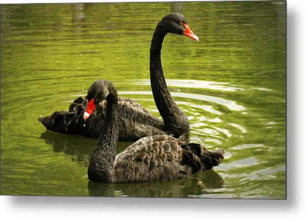 Black Swans Metal Print by Jacqui Collett