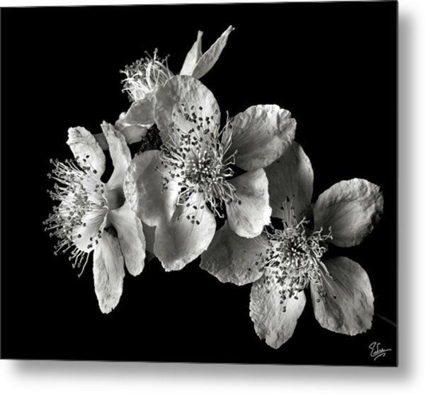 Blackberry Flowers In Black And White Metal Print
