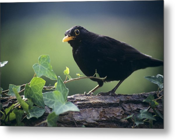 Blackbird Metal Print by David Aubrey