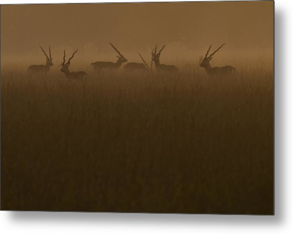 Blackbucks At Sunrise Metal Print by Pramod Bansode
