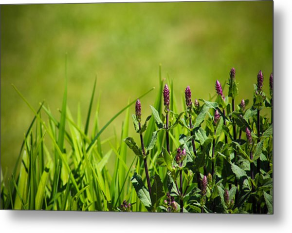 Blooming In Purple Metal Print by Christy Patino