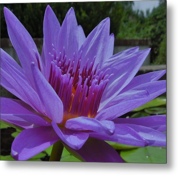 Blue And Purple Lotus Flower Metal Print