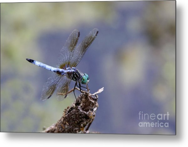 Blue Dasher Dragonfly Metal Print by Chris Hill