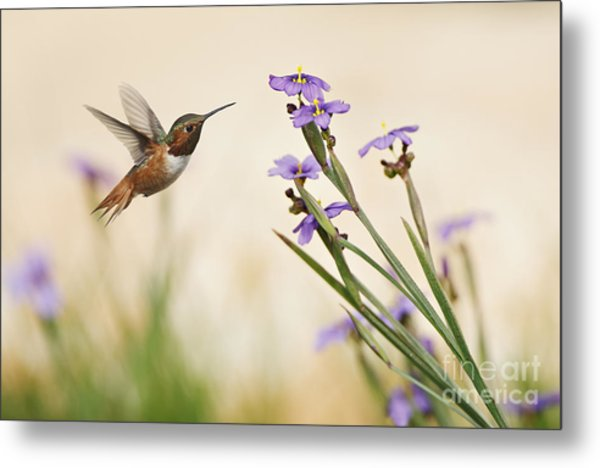 Blue-eyed Grass Wildflowers And Rufous Hummingbird Metal Print