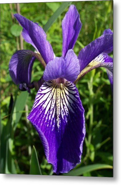 Blue Flag Iris Metal Print
