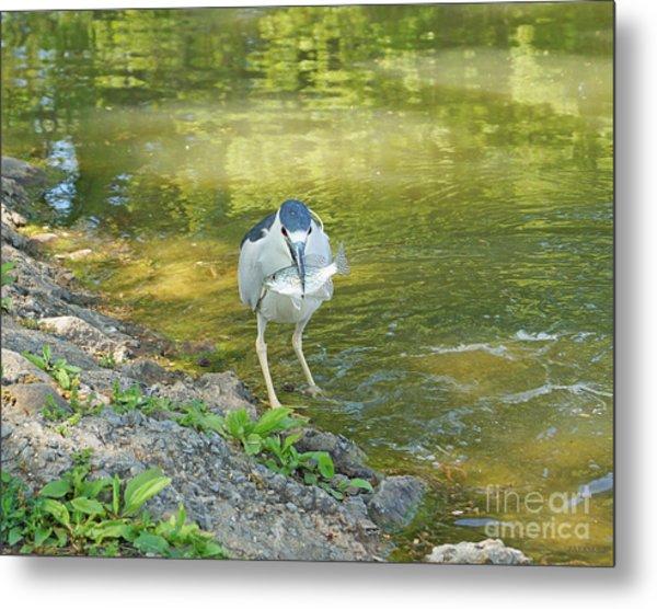 Blue Heron With Fish One Metal Print