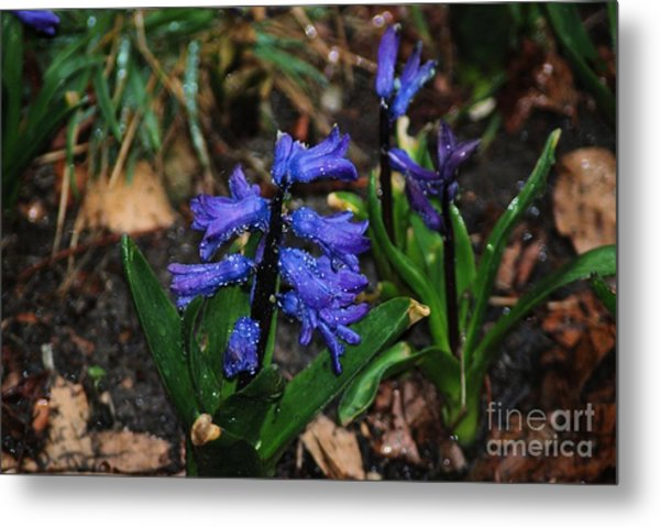 Blue Hyacinth Metal Print