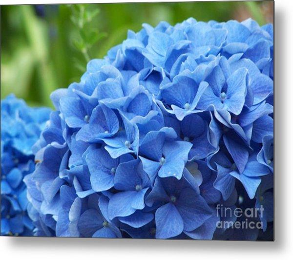 Blue Madeira Hydrangea Metal Print by Patricia Land