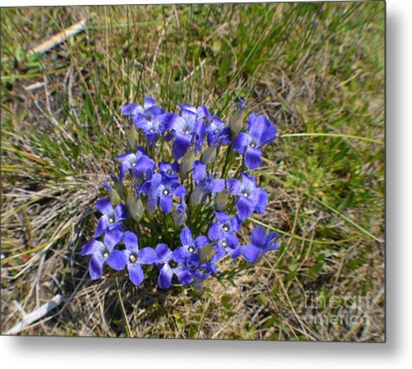 Blue-purple Damsels Metal Print by Roxann Whited