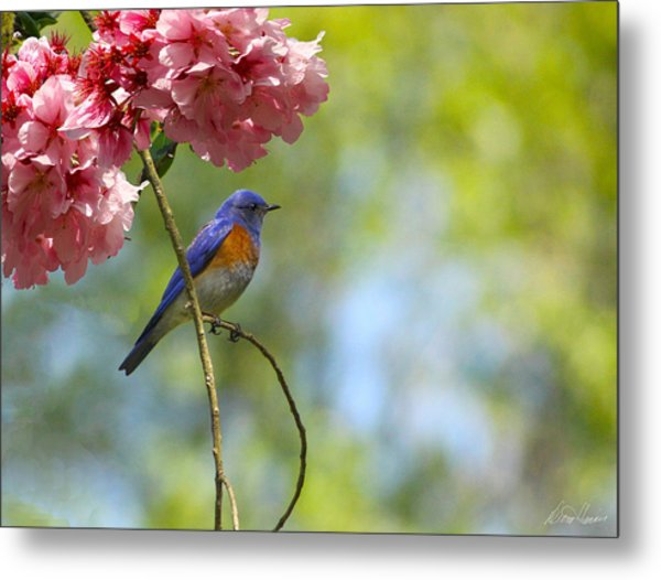 Bluebird In Cherry Tree Metal Print