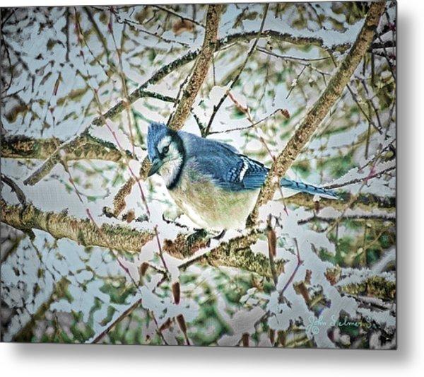 Bluejay In Birches Metal Print by John Selmer Sr