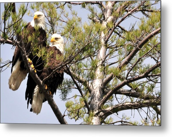 Bog River Eagles   Metal Print