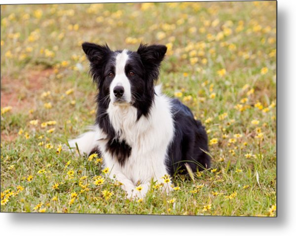 Border Collie In Field Of Yellow Flowers Metal Print