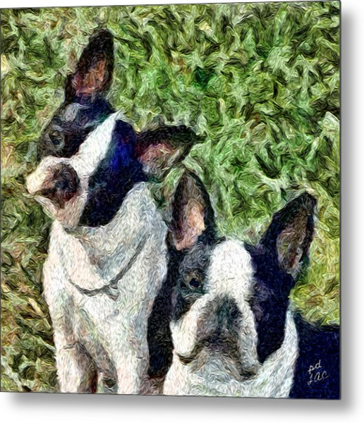 Boston Terrier Duo - Skipper And Dee Dee Metal Print by Patty Dunlap and Laurence Canter