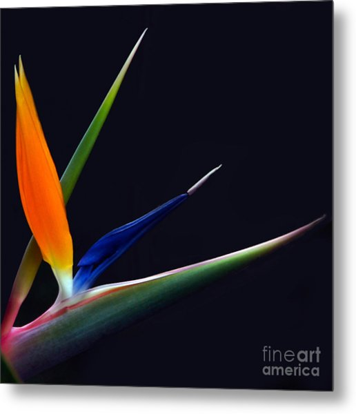 Bright Bird Of Paradise Square Frame Metal Print