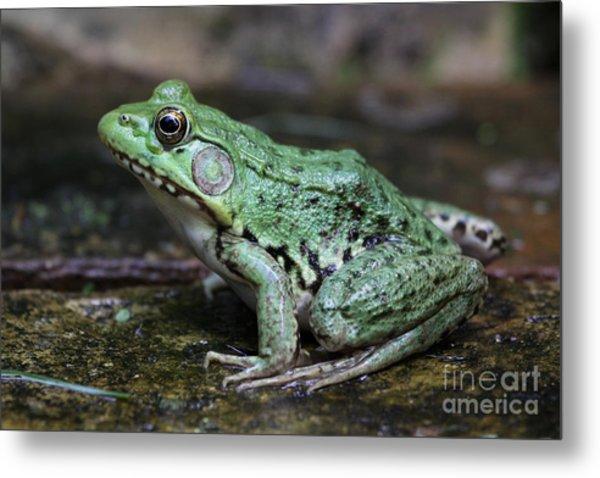 Bright Green Bullfrog Metal Print by Chris Hill
