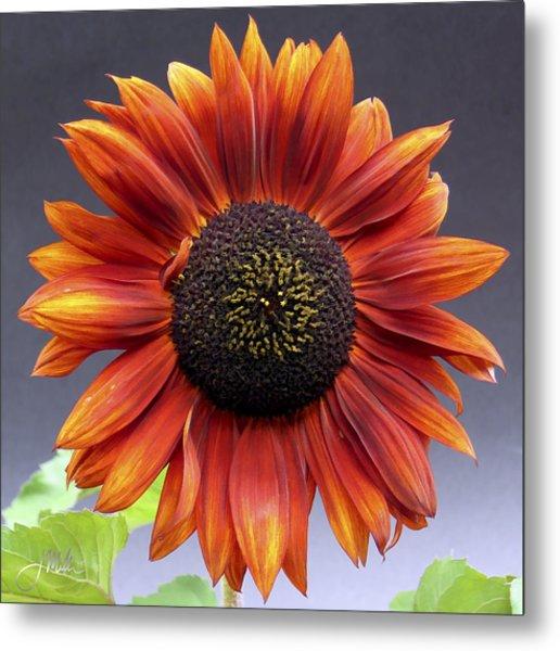 Bright Intense Sunflower Metal Print by Joshua Miller