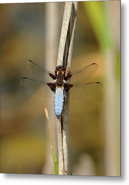 Broad Bodied Chaser Metal Print by Paul Scoullar