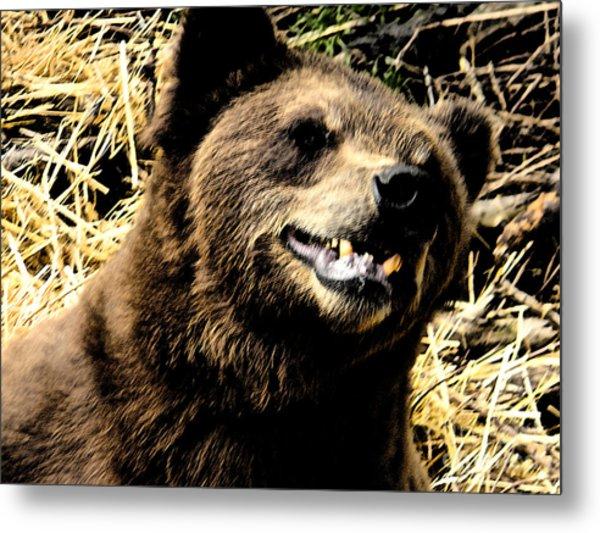Brown Bear Smiling Metal Print by Derek Swift