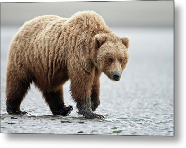 Brown Bear Stare Metal Print