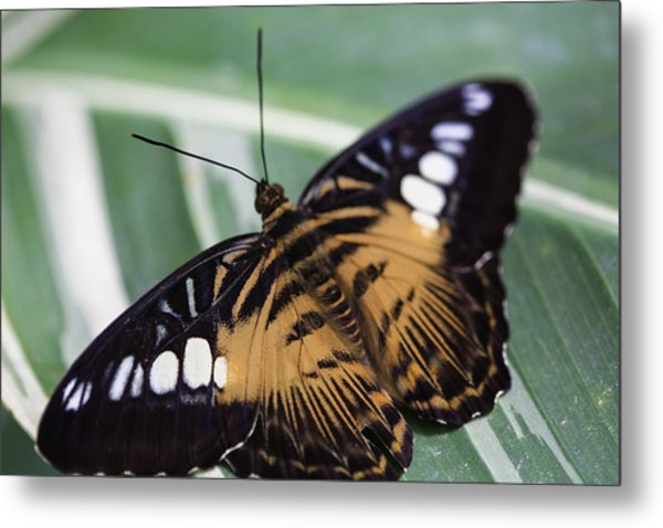 Brown Clipper Metal Print