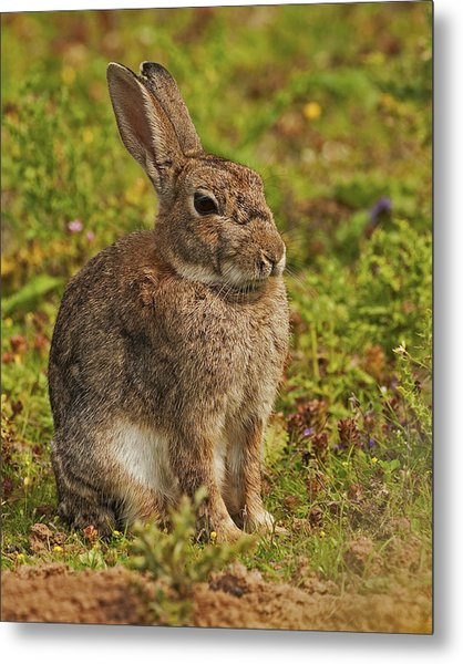 Brown Hare Metal Print by Paul Scoullar