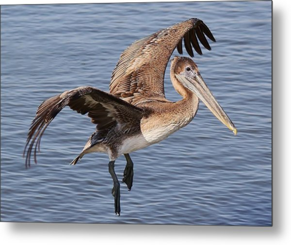 Brown Pelican In Flight Metal Print by Paulette Thomas