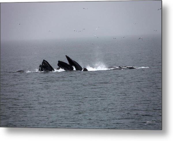 Bubble Netting Whales In Alaska Metal Print
