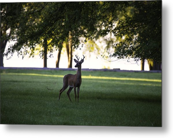 Buck At Dawn Metal Print
