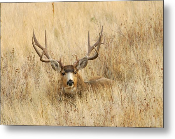 Buck In Grass Metal Print