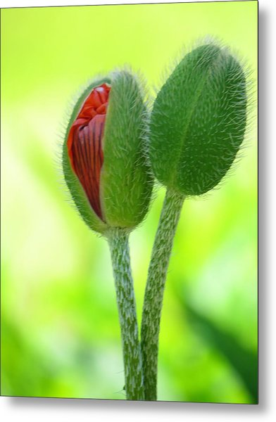 Budding Poppies Metal Print