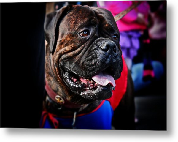 Bulldog At Barkus Parade 2 Metal Print
